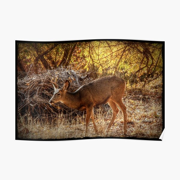 Evening Light and Cottonwood Trees Poster