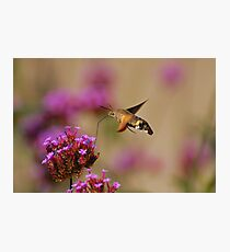 Hummingbird moth Photographic Print