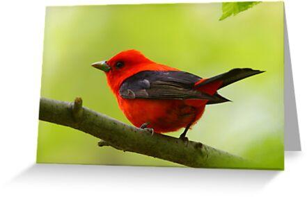 Scarlet Tanager by naturalnomad