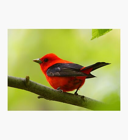 Scarlet Tanager Photographic Print