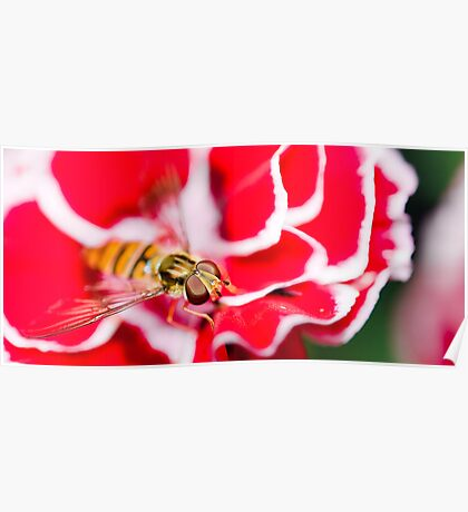 Hover fly on carnation Poster