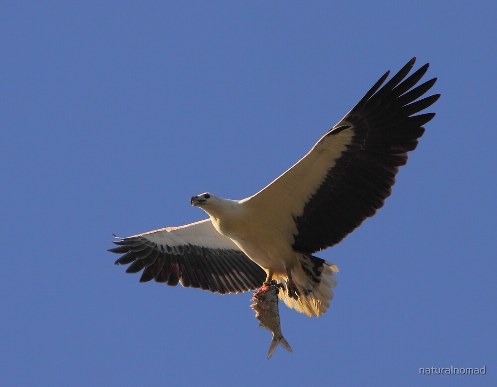 White-bellied Sea Eagle - Catch of the Day by naturalnomad