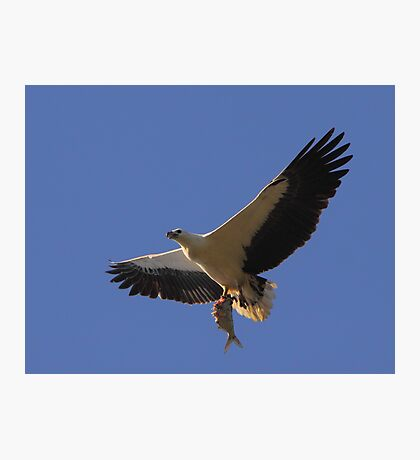 White-bellied Sea Eagle - Catch of the Day Photographic Print