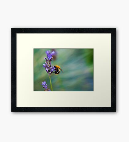 Bumble Bee on Lavender  Framed Print