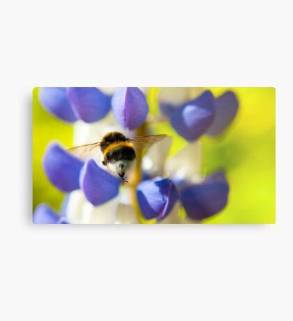 Bumble Bee on Lupin Metal Print