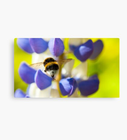 Bumble Bee on Lupin Canvas Print