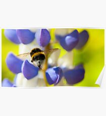 Bumble Bee on Lupin Poster