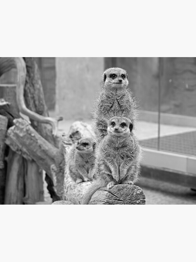 Meerkats on a look out by santoshputhran