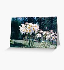 One Lily with 44 Blooms! Greeting Card