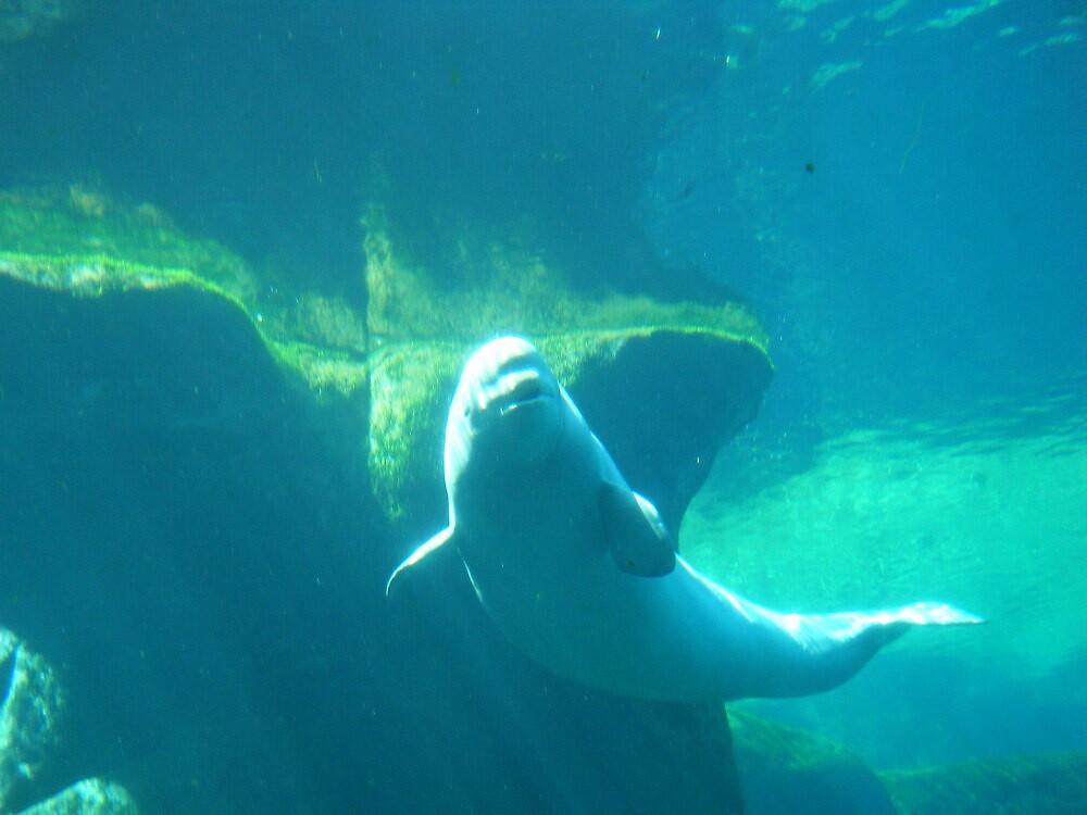 Beluga by faeriemama