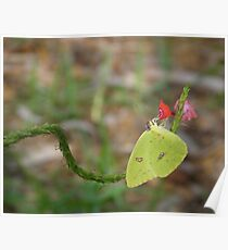 Nectaring on Porterweed Poster