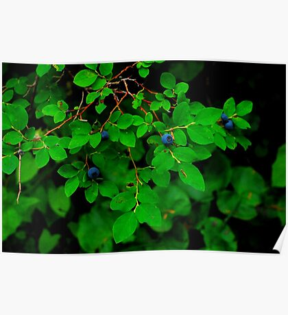MOUNTAIN HUCKLE BERRIES IN THE ALPINE LAKES WILDERNESS AREA Poster