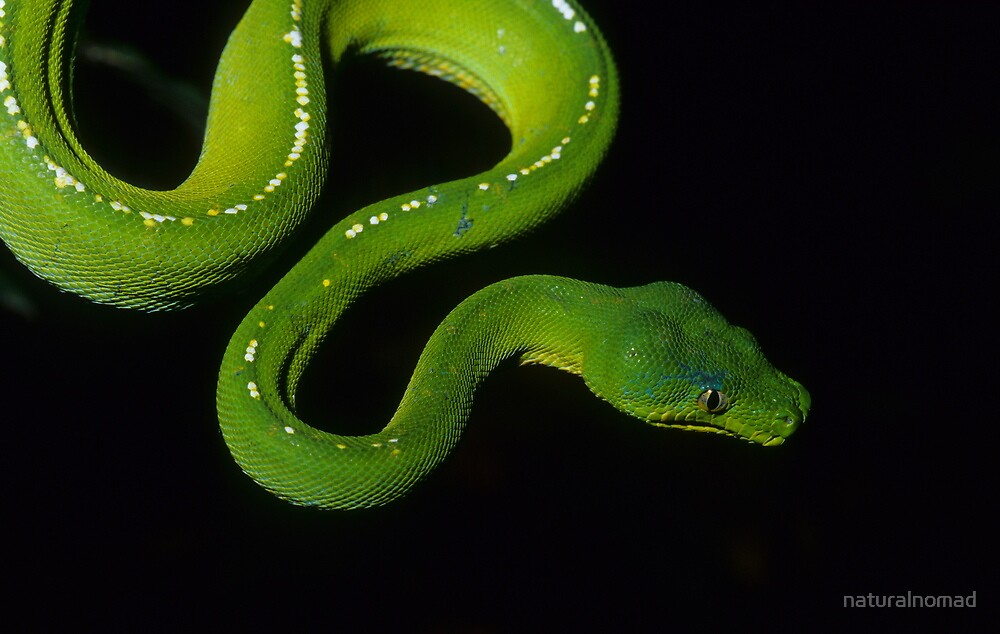 Green Python by naturalnomad