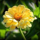 Sonnenbeschienene Gänseblümchen von Cynthia48