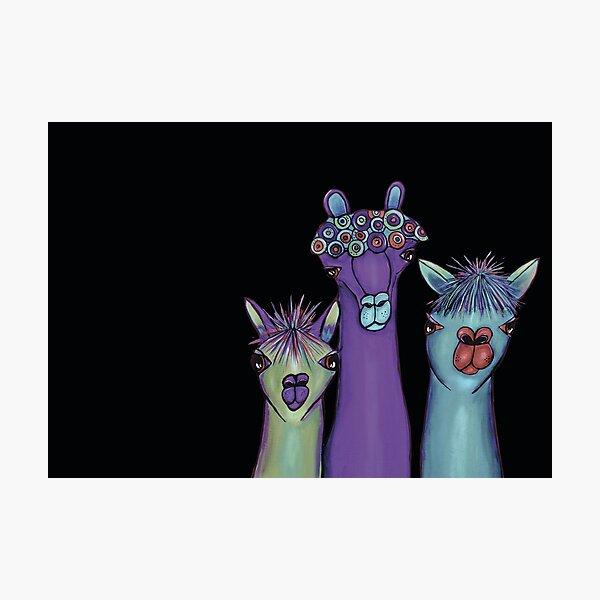 3 alpacas Photographic Print