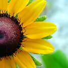 Black Eyed Susan by Marcia Rubin