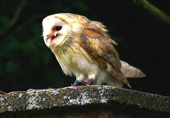 Barn Owl -4 by Trevor Kersley