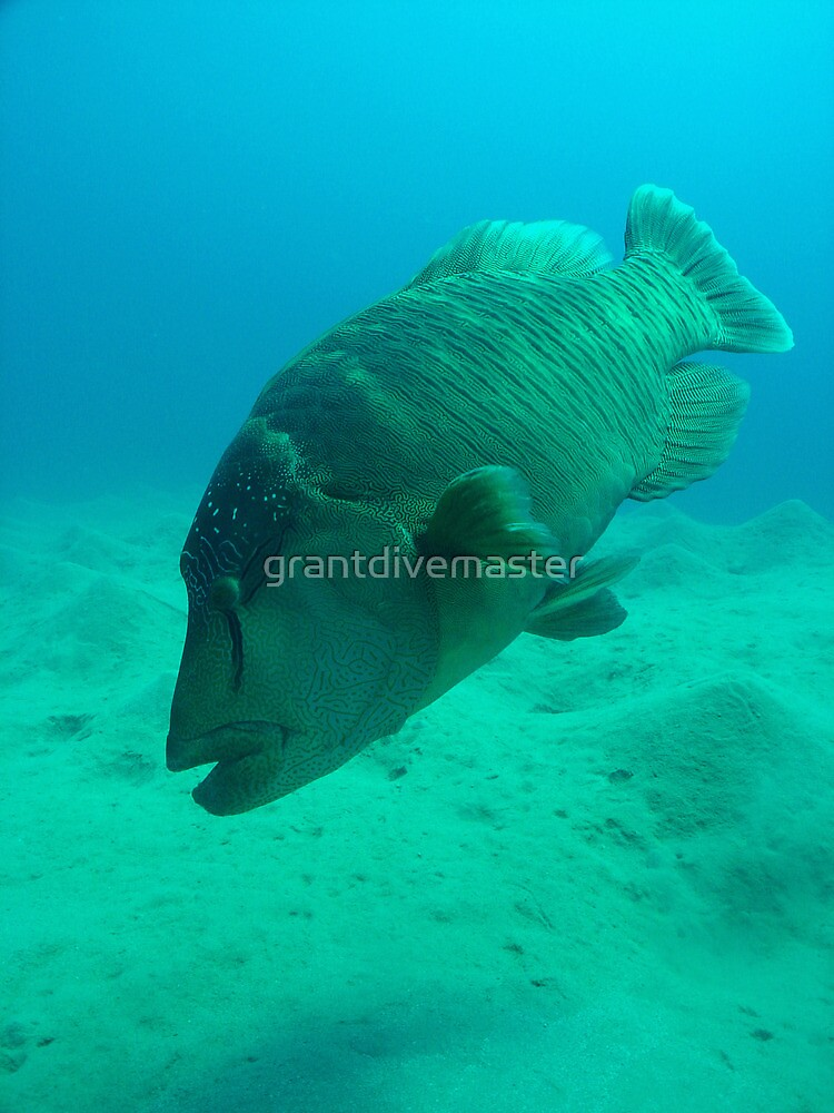 Giant Trigger Fish by grantdivemaster