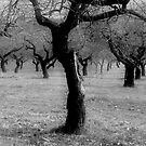 Almonds trees by marcopuch
