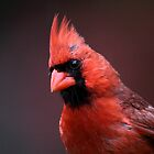 Cardinal Portrait  by Gary Fairhead