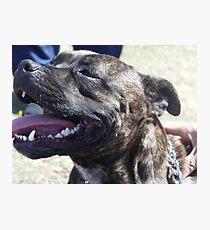 staffordshire bull terrier head Photographic Print