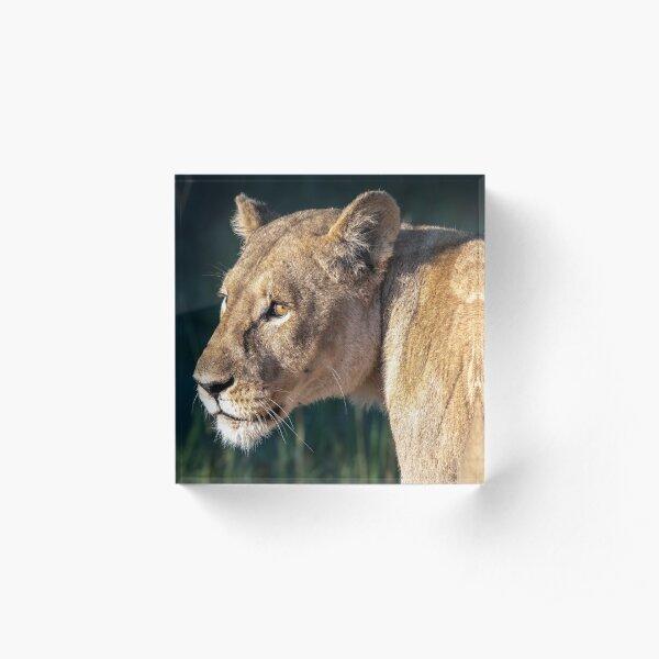 Lioness head shot Acrylic Block