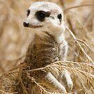Meerkat, suricata suricata by John Wallace