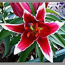Vibrant Pink Asiatic Lily von BlueMoonRose