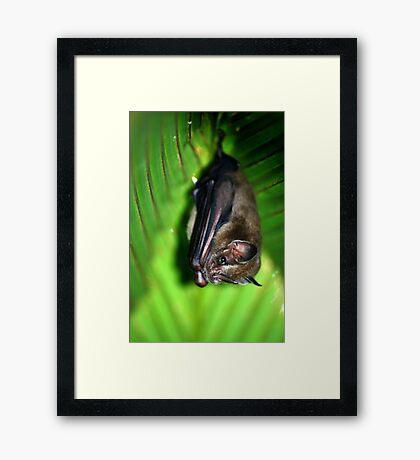 Tent-making Bat - Costa Rica Framed Print