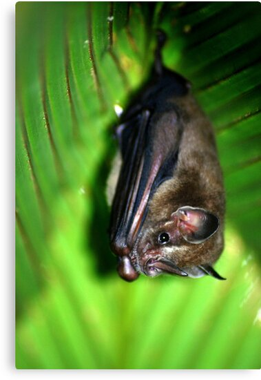 Tent-making Bat - Costa Rica by Jason Weigner