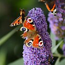 Butterflies in the garden by Gillen