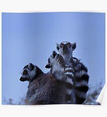 Lemur-Familie Poster