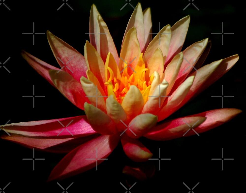Pink Waterlily by loiteke