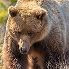 Grizzly Bear III by akaurora