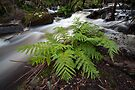 Austral King Fern - Murrindindi River by Travis Easton
