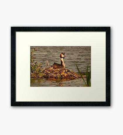 Great Crested Grebe on Nest Framed Print