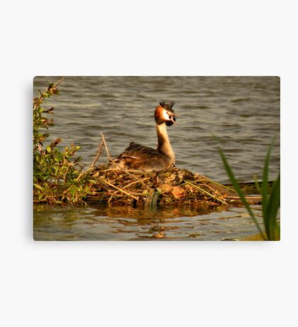 Great Crested Grebe on Nest Canvas Print