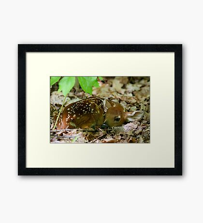 Newborn / White-tailed Deer Fawn Framed Print