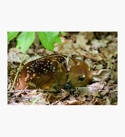 Newborn / White-tailed Deer Fawn Photographic Print