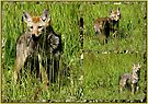 Coyote Collage by Betsy  Seeton