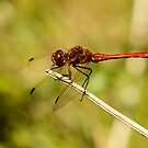Adult Male Vagrant Darter by Robert Abraham