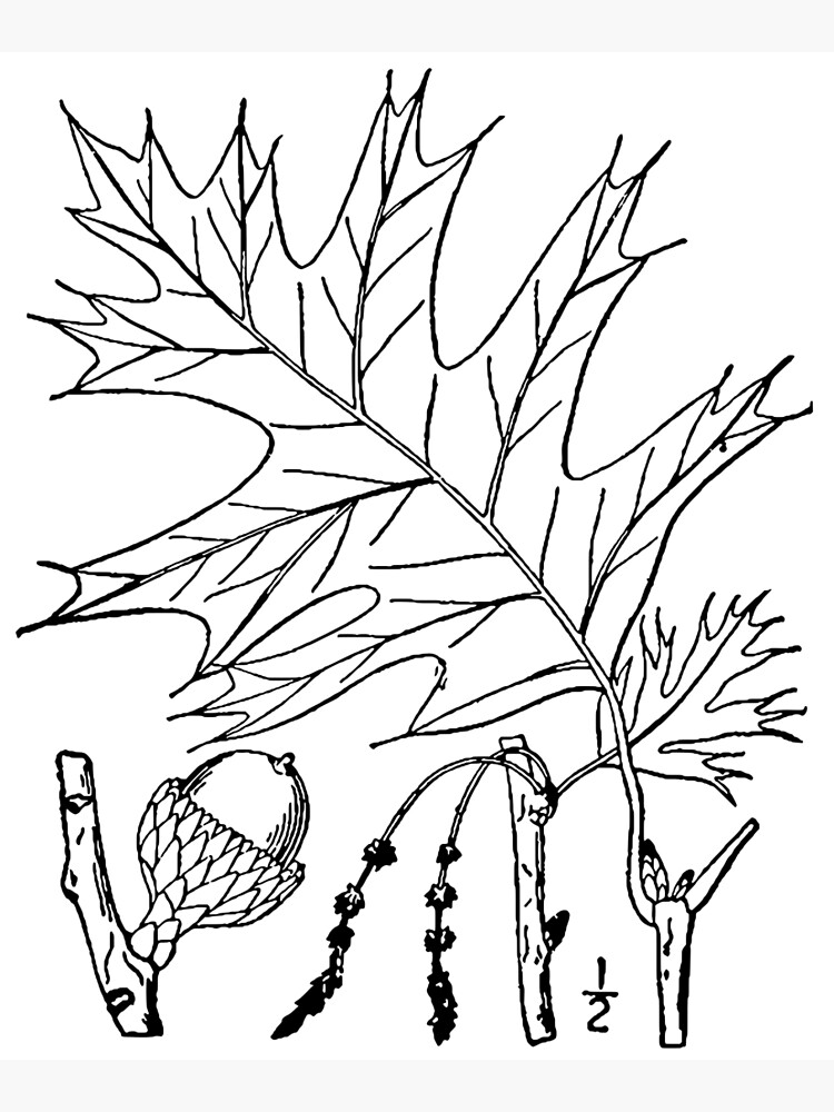 Botanical Scientific Illustration Black and White Quercus by pahleeloola