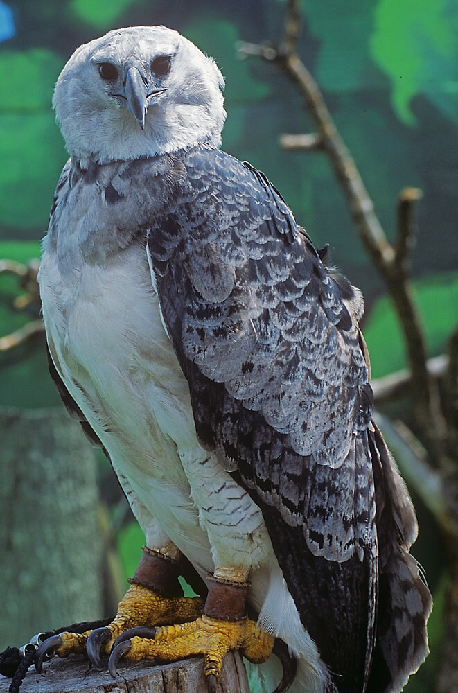 Quot Harpy Eagle Quot By Rick Montgomery Redbubble