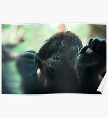 The Softer Side of Orangutangs Poster