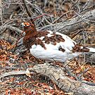 Ptarmigan ~ Sneaking By by akaurora
