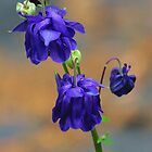 Maine Purple Columbine von T.J. Martin