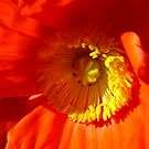 Springtime Poppy! by Gabrielle  Lees