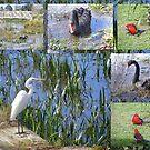 Local wild life on Lake Wendouree by David Smith