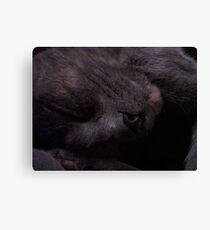 Sweet Feline Dreams... Canvas Print