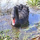 Black swan on lake wendouree by David Smith